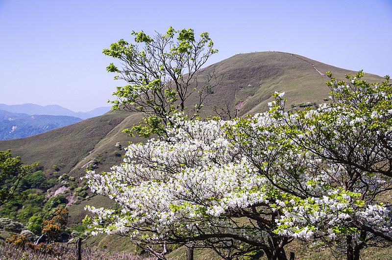 160521シロヤシオ(竜ヶ岳)