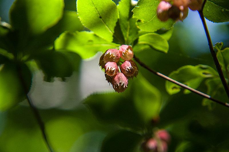 ベニドウダン(紅満天星、学名:Enkianthus cernuus f. rubens)