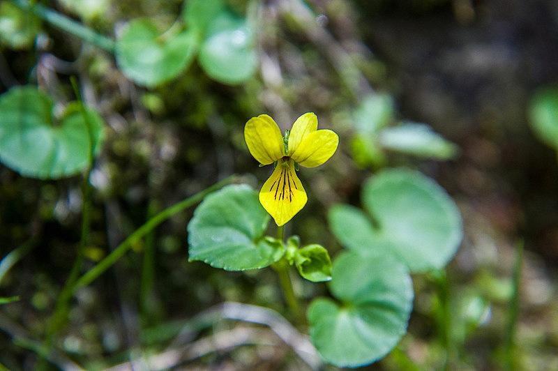 キバナノコマノツメ(黄花の駒の爪、学名:Viola biflora L.)