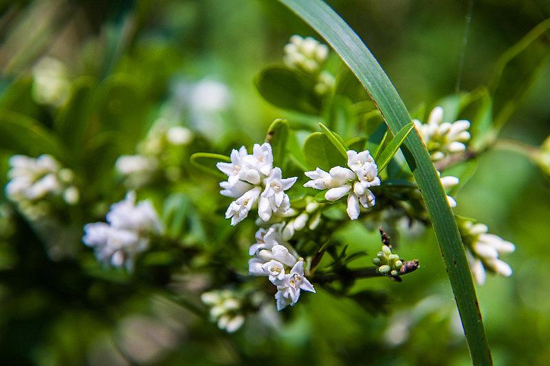 アリドオシ(蟻通し、学名:Damnacanthus indicus C.F. Gaertn.)