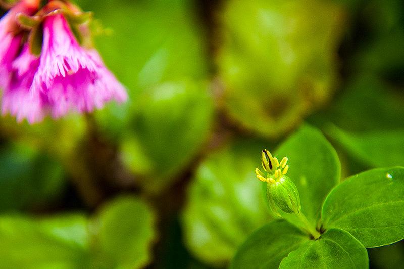 ツクバネソウ(衝羽根草、学名:Paris tetraphylla A.Gray)