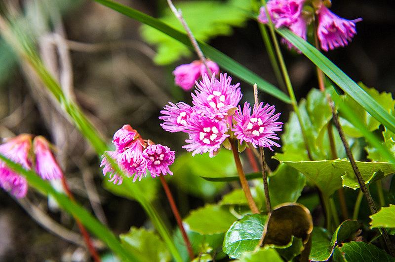 コイワカガミ(小岩鏡、学名:Schizocodon soldanelloides f. alpinus)