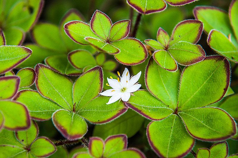 ツマトリソウ(褄取草、学名:Trientalis europaea)