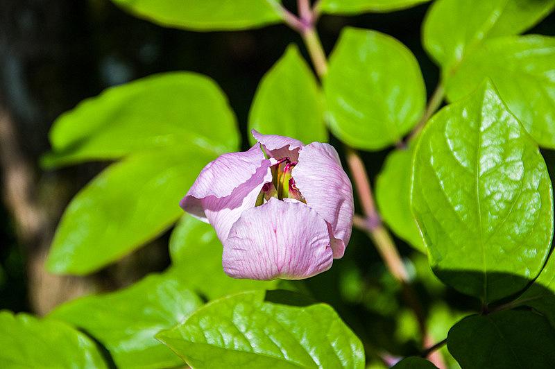 ベニバナヤマシャクヤク(紅花山芍薬、学名:Paeonia obovata)