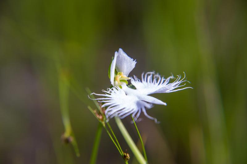 サギソウ(鷺草、学名:Pecteilis radiata)
