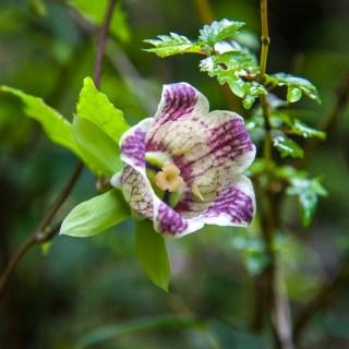 ツルニンジン(蔓人参、学名:Codonopsis lanceolata)