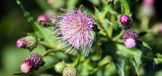 ノハラアザミ(野原薊、学名:Cirsium oligophyllum)