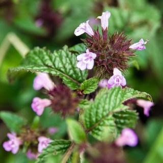 クルマバナ(車花、学名:Clinopodium chinense subsp. grandiflorum var. urticifolium)