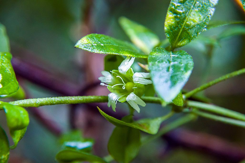 心を休める…可愛い花姿のナンバンハコベ