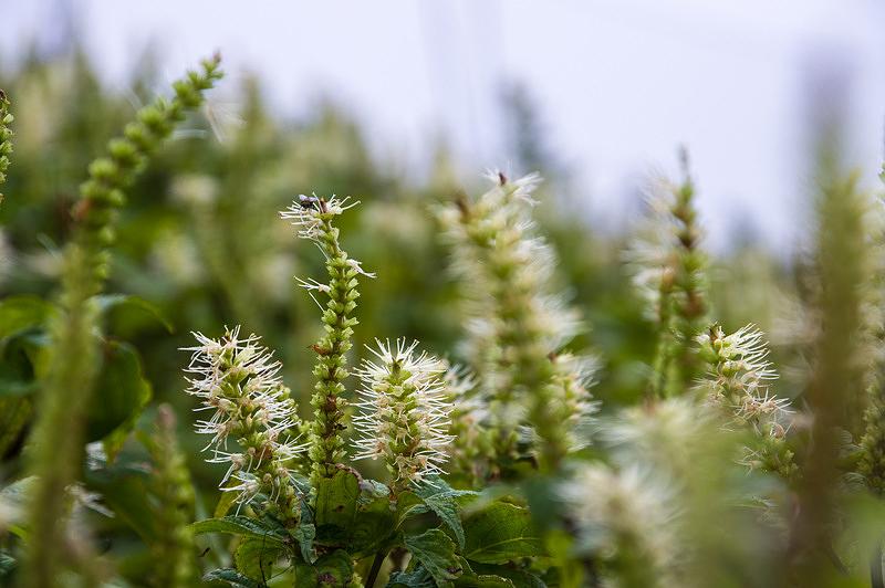 フジテンニンソウ(富士天人草、学名:Leucosceptrum japonicum f. barvinerve)