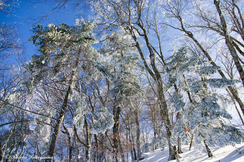 常緑針葉樹には霧氷がびっしりとついています。