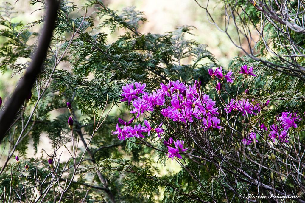 ミツバツツジ(三葉躑躅、学名:Rhododendron dilatatum)の仲間