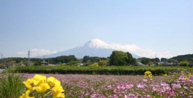 富士山と蓮華草