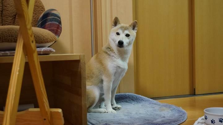 SHIBAINU SHIBAKEN 柴犬