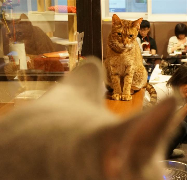 Cat Cafe Calico 猫カフェ きゃりこ