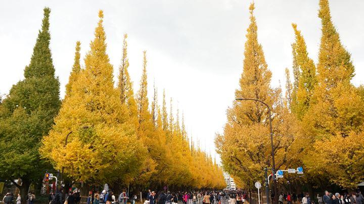 Ginkgo Tree Festival 神宮外苑いちょう祭り Jingugaien Icho Matsuri