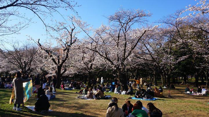 Yoyogi Park 代々木公園 Cherry Blossoms 桜