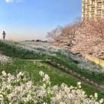 多摩川の桜 お花見スポット