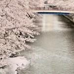 目黒川の桜 お花見サイクリングスポット