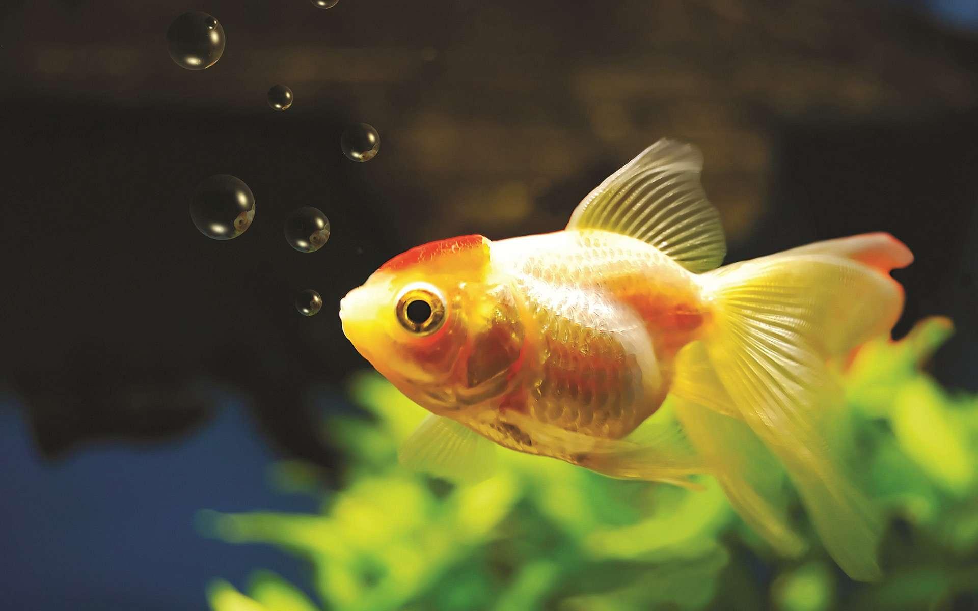 Bandai Releases Underwater Submarine For Goldfish
