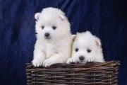 Решили купить щенка японского шпица: что делать дальше?