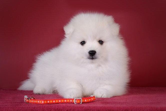 Japanese Spitz puppy photo