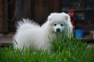 Japanese spitz puppy photo