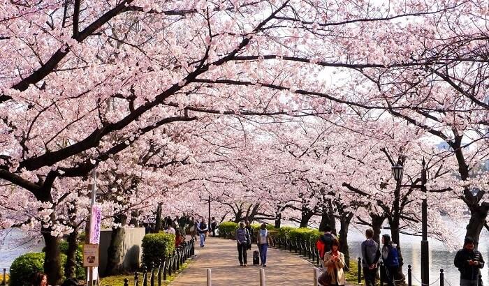 100+ Gambar Pemandangan Bunga Sakura Terindah Paling Bagus