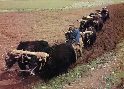 Tibetskí roľníci