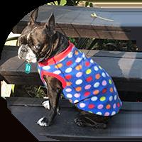 Foster boston terrier wearing jacket