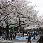 Ueno-Park-Tokyo-sakura