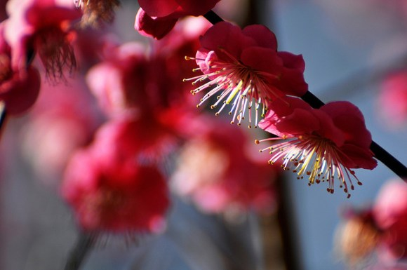 plum blossoms ume