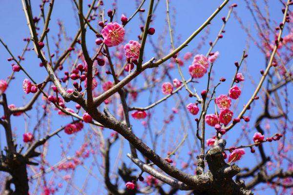 Osaka ume plum castle4