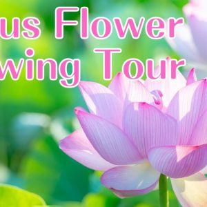 Lotus Flower Viewing Tour