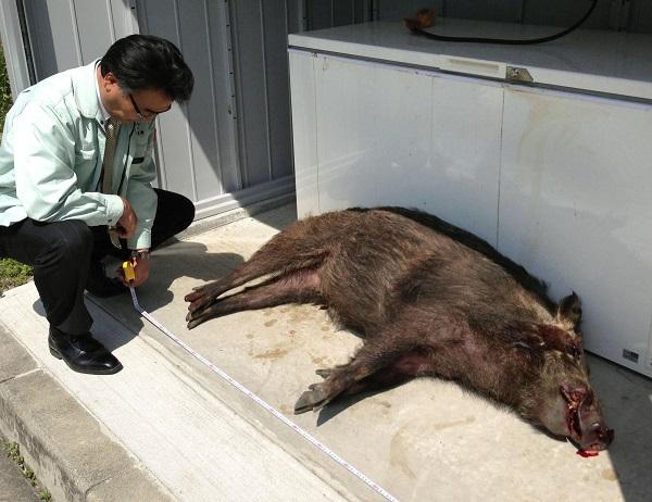sanglier sauvage japon