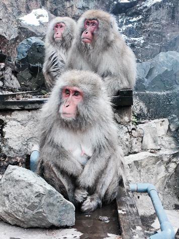 yamanouchi-snow-monkey-family-2016