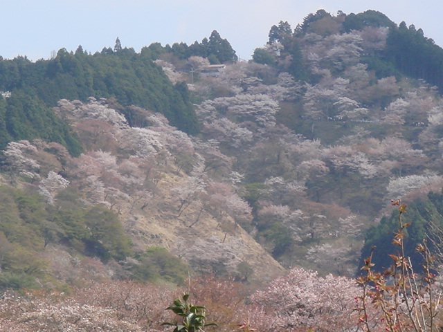 This is Kasumi Sakura - Korean Hill Cherry. It looks pretty foggy/hazy to me. This could totally be the origin of this place. (See what I did there? That's called folk etymology)