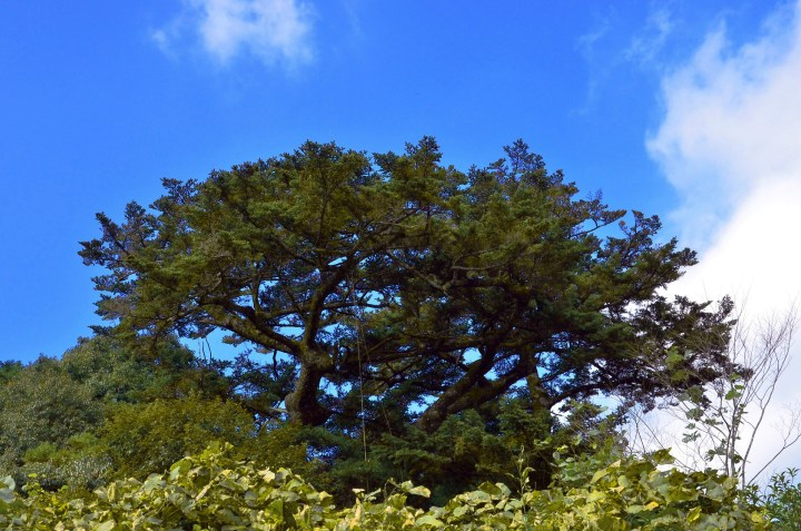 a Japanese fir tree, It looks very firry. Good for it.