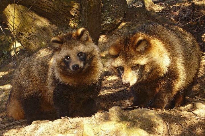 You can see why they are called raccoon dogs in English. Although the name is based on their superficial aspect, the jury is out on their evolutionary biological roots.