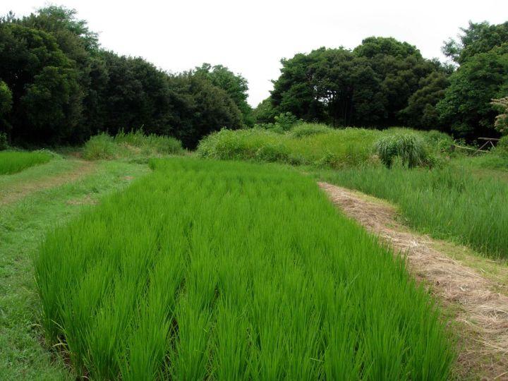 rice paddies in tokyo