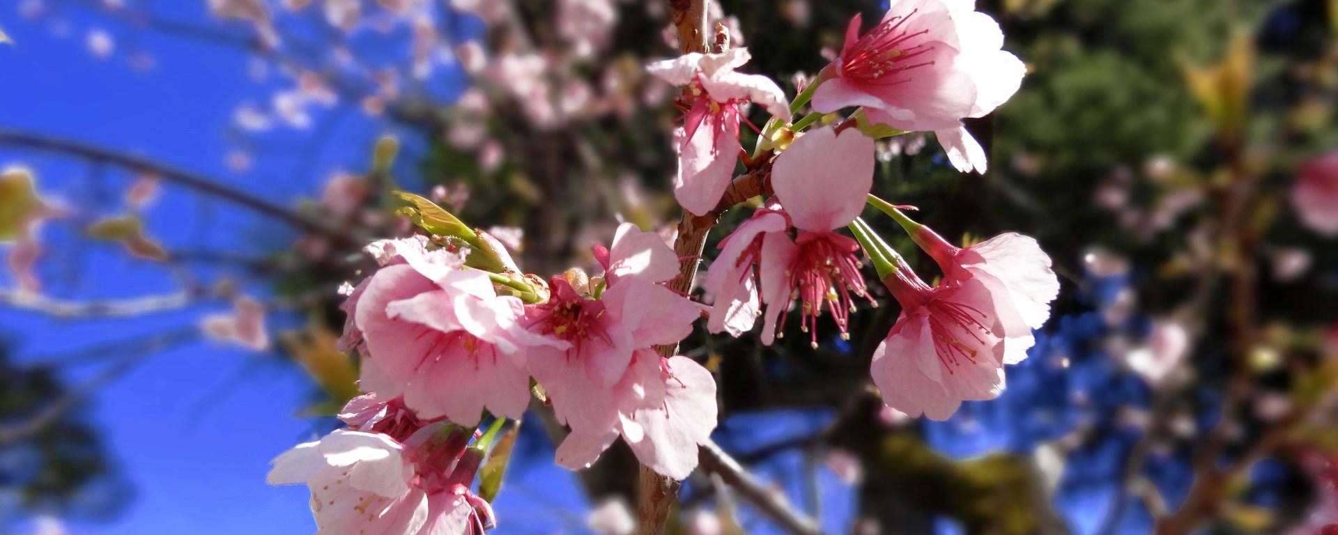 sakura prefecture japan