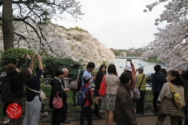 Sakura Best viewing, Imperial garden, Chidorigafuchi. 360 degree cherry blossom experience (15)