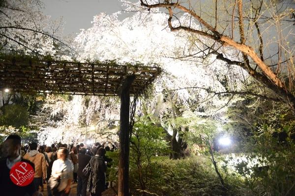 Weeping cherry tree (Shidarezakura) in Rikugien illumination attracts many people.0001