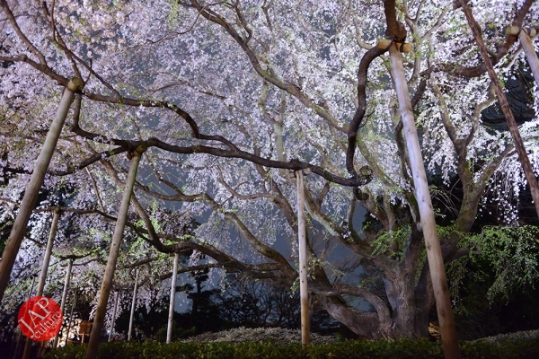 Weeping cherry tree (Shidarezakura) in Rikugien illumination attracts many people.0006