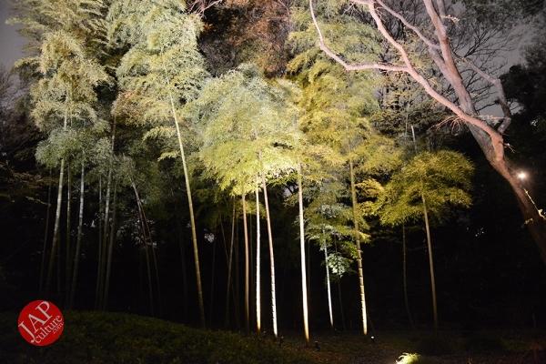 Weeping cherry tree (Shidarezakura) in Rikugien illumination attracts many people.0010