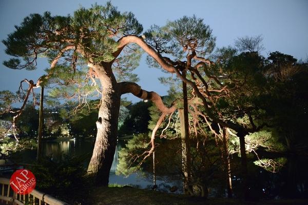 Weeping cherry tree (Shidarezakura) in Rikugien illumination attracts many people.0018