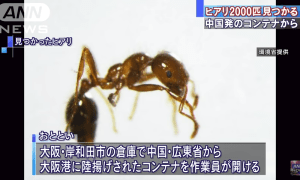 Container with around 2000 poisonous ants from China discovered at Osaka Port