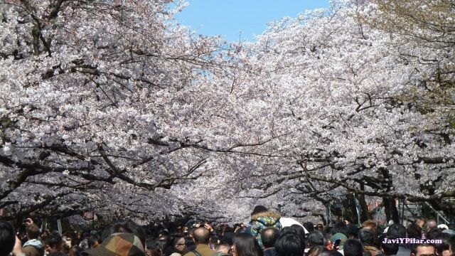 Parque de Ueno (Tokio) en plena floración del sakura