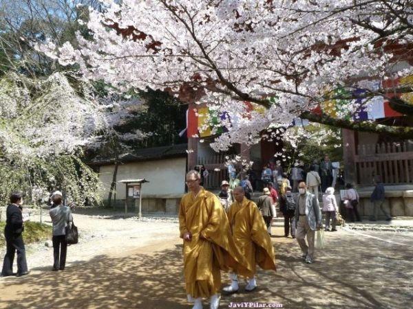 Hanami o contemplación de los cerezos en flor en Japón