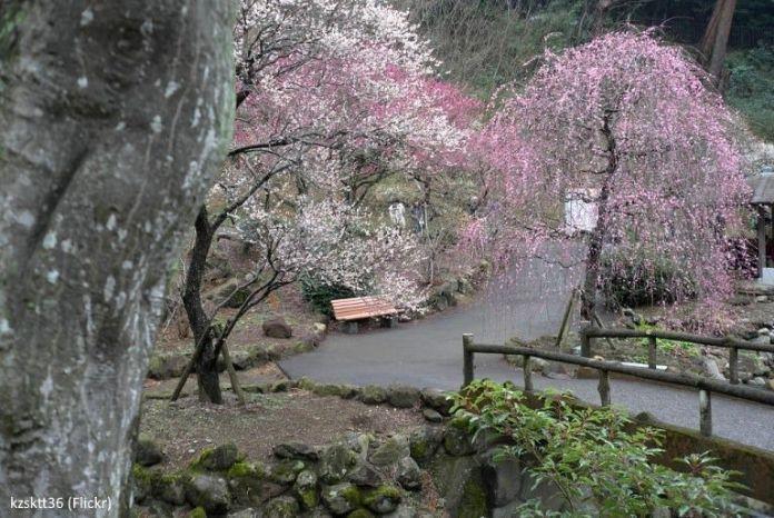 Festivales de Japón: el El Atami Baien Ume Matsuri (熱海梅園梅まつり), uno de los más famosos festivales de ciruelos en flor de todo Japón (Atami, prefectura de Shizuoka)